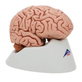 Klassische Gehirn echte Besetzung