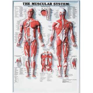 Muscular System 3D - Anatomie poster