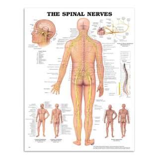 Anatomie Poster - Spinalnerven