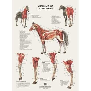 Die Muskeln des Pferdes Poster 60x80 cm
