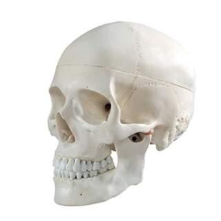 Cranium Modell