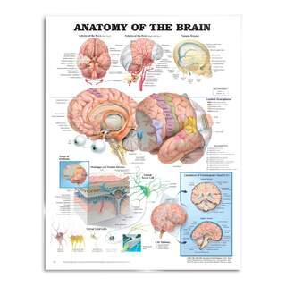 Gehirn Anatomie - Poster