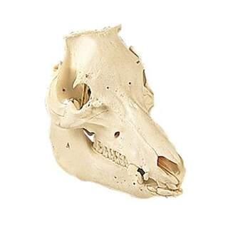 Cranium Schwein (Sus scrofa) - Haupt