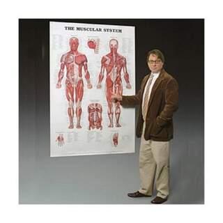 Muskelsystem laminiertes Plakat