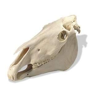 Pferdekranich (Equus Caballus)