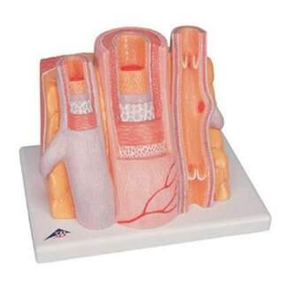 Mikroanatomie - Arterie und Freund