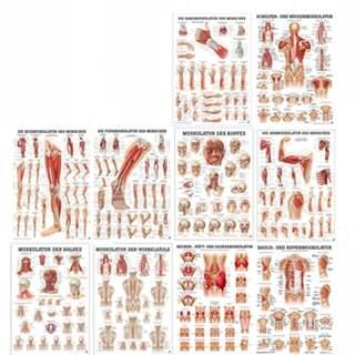 Affischset 50x70 cm mit Muskelgruppen von zehn Plakaten