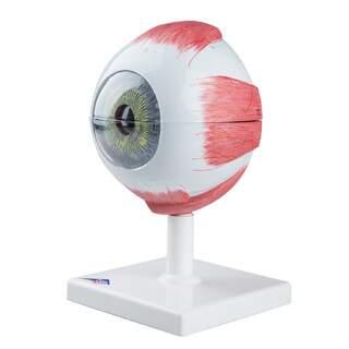 Augenmodell in 5facher natürlicher Größe in sechs Teilen