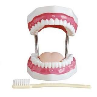 Dentalhygieniker Zahnmodell