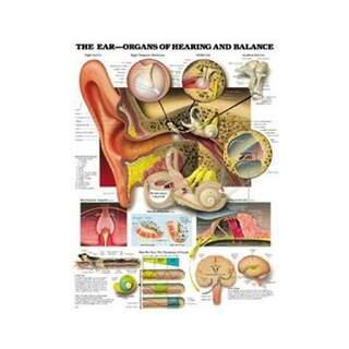 Ohrenanatomie, Hör - und Gleichgewichtsfunktion laminiertes Poster Deutsch