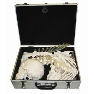 Skelett Knochen Sammlung