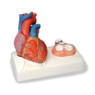 Herzmodell mit Fokus auf den Klappen und Besetzung für ein wahres Herz
