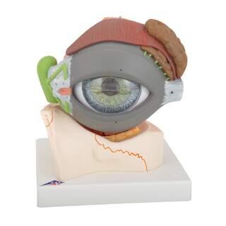 Anatomisches Augenmodell in 5facher natürlicher Größe in acht Teilen