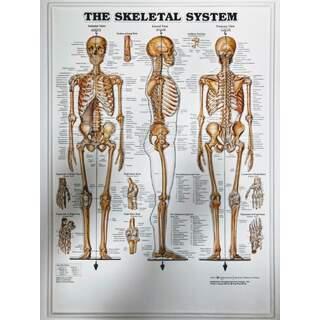Skelett System 3D - Anatomie poster