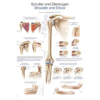 Laminiertes Poster mit Schulter- und Ellbogenanatomie & Verletzungen Deutsch & Englisch