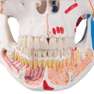 Schädelmodell mit Blutgefäßen und Nerven im Unterkiefer und Muskelmarkierungen.