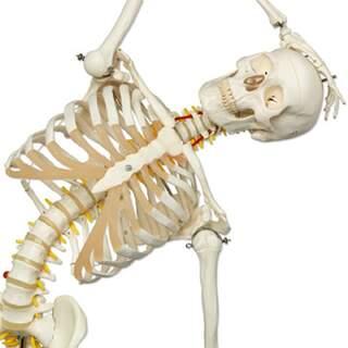 flexible Skelett von 3B