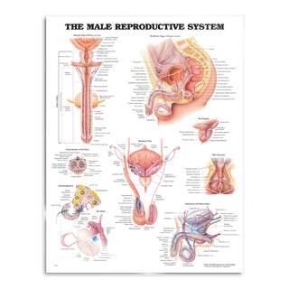 Plakat des männlichen Fortpflanzungssystems