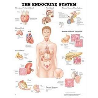 Hormonsystem laminiertes Plakat
