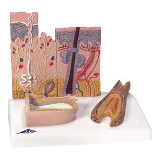 Hautmodell und Nagelmodell