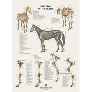 Das Skelettposter des Pferdes 60x80 cm
