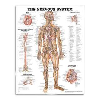 Anatomie Poster - Nerven