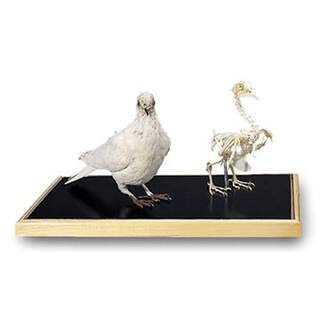 DUV Knochen und gefüllte Tauben (Columba palumbus)