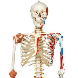 Skelettmodell mit beweglicher Wirbelsäule, Bändern der Spinalnerven usw.