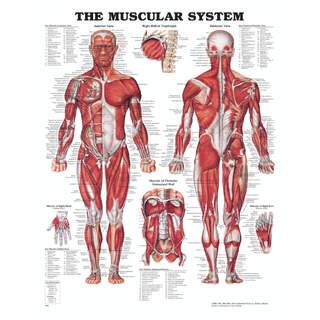 Anatomie Poster - Muskeln mit Hartplastik und Löcher